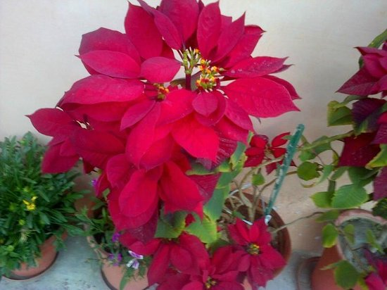 Jaipur Heritage Home: Pretty Poinsettias