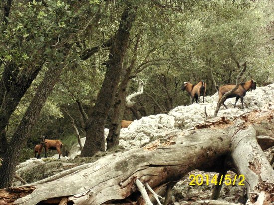 The Archduke Way: Goats in the forest