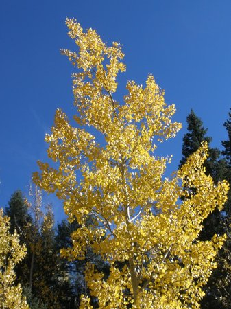 The Nature Place: Our Aspens display their vibrance in the fall.