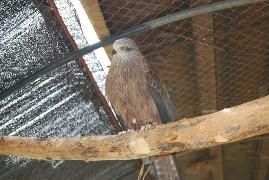 La Reserva Puig de Galatzo, Parc de Natura : Caged hawk