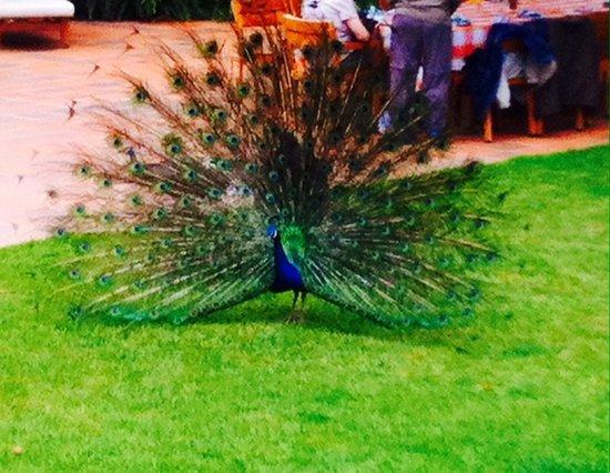 Coffee Tour Hacienda Venecia: Fauna en la hacienda: pavo real