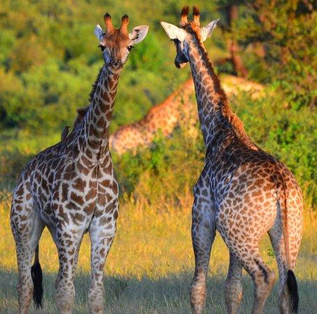 Imbabala Zambezi Safari Lodge : Giraffe