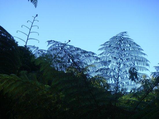 Rainbow Springs Nature Park : tree ferns