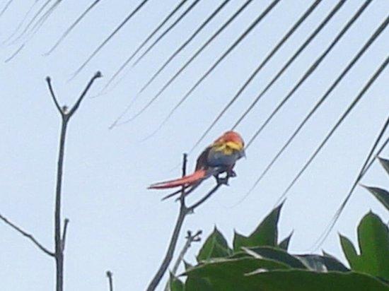La Pina Lodge B&B: Daily visitors in LaPiña : red parrots