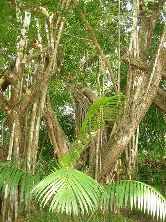 La Pina Lodge B&B: The toucans and howlers monkeys tree