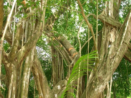 La Pina Lodge B&B: The toucans tree