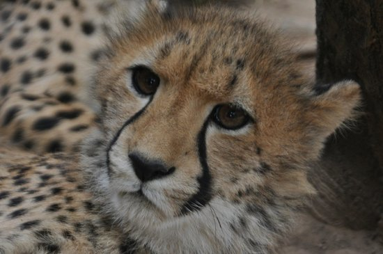 Cango Wildlife Ranch : clseup of one of the cheetahs
