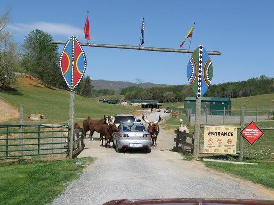 Virginia Safari Park: Waiting our turn to enter the park