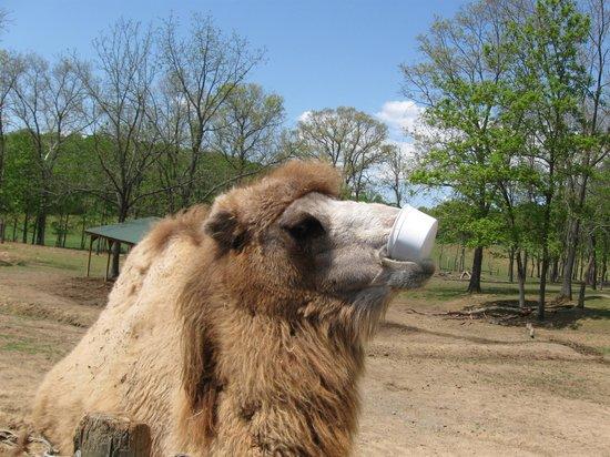Virginia Safari Park: Camel Takes Bucket from my Grandson, Taylor