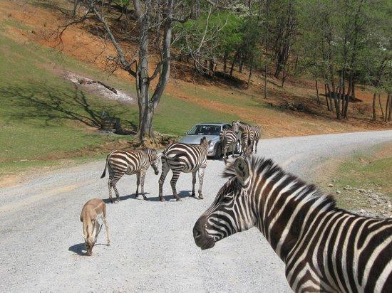 Virginia Safari Park: Seeing Stripe Visions