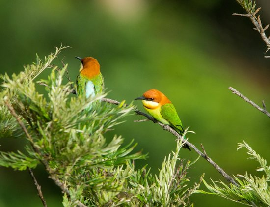98 Acres Resort and Spa : A pair of chestnut-headed bee-eaters near our balcony