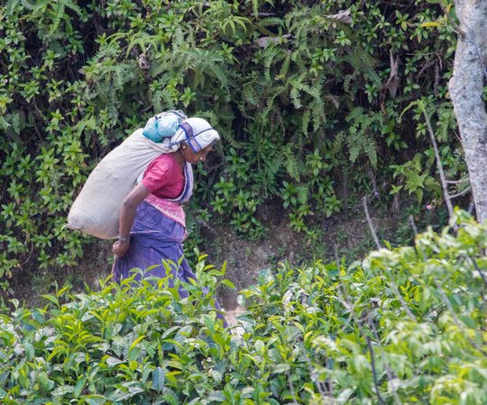 98 Acres Resort and Spa : Plantation worker returning from the fields at end of shift.