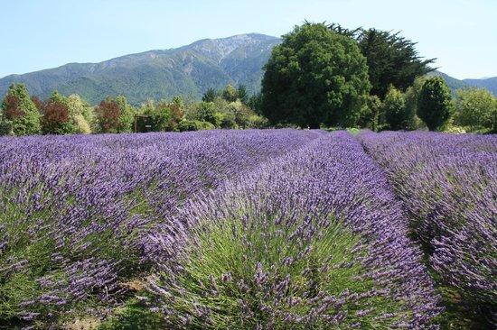 Lavendyl Lavender Farm: Garden