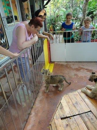 Khao Kheow Open Zoo: lionceaux de deux mois