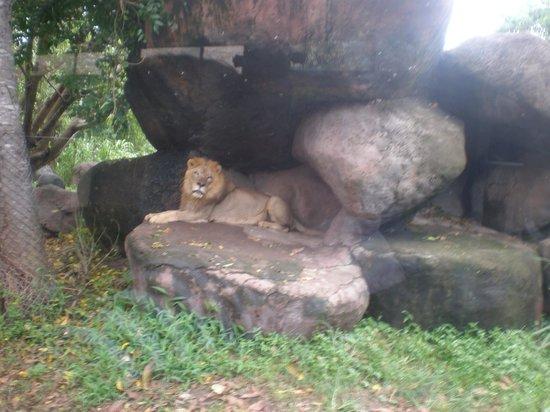 Bali Zoo : ライオン