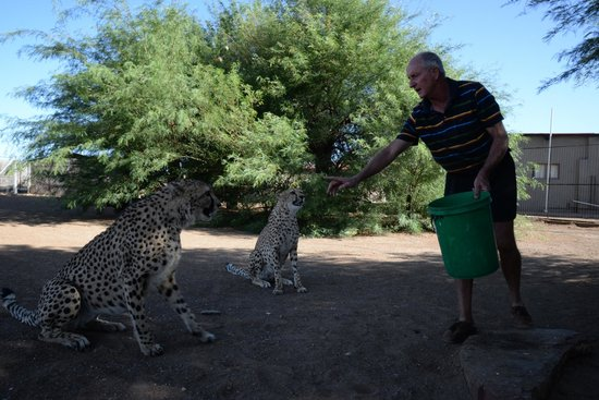 Quivertree Forest Rest Camp : Cheetah Feeding