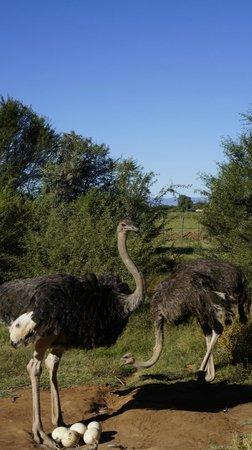 Safari Ostrich Show Farm : With their eggs
