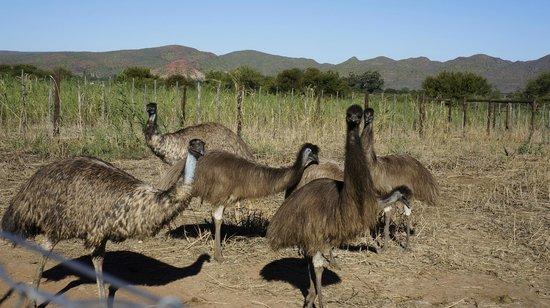 Safari Ostrich Show Farm : Emu