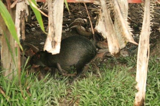 Cabanas Yakuruna : Animal en la finca
