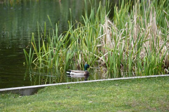Fielding Memorial Park: Mallards in the pond