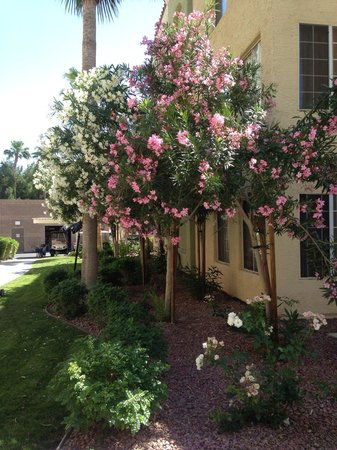 Holiday Inn Club Vacations At Desert Club Resort: Flowering trees on property