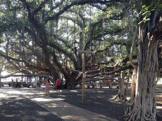 Banyan Tree Park: The tree