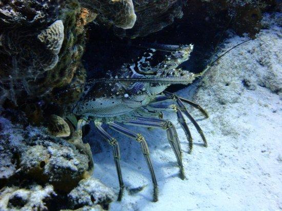 Dive with Cristina : Lobster at Palancar Gardens