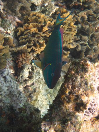 West Bay, Honduras: parrot fish