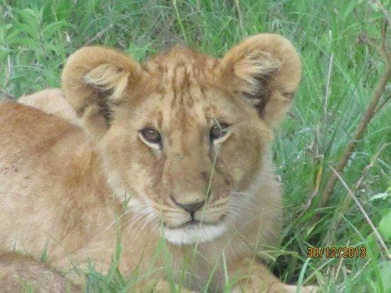 Sala's Camp: Lion cub