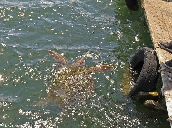 Dalyan River: La tortue appatée !