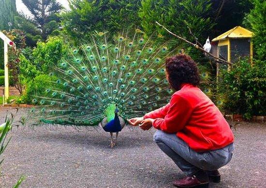 Codrington, Austrália: Hooter the Peacock