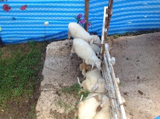 Aden Apartment Beachside Samui Lamai: The (incredibly fortunate) sheep