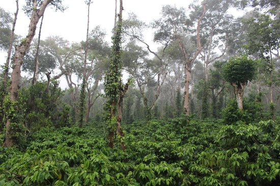 Riverwoods: amidst the coffee plantations.....