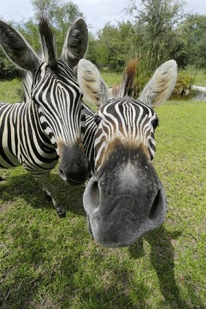 Turaco Lodge: zebras visit the lodge often