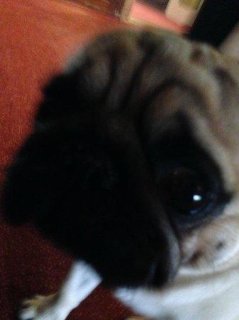 Rembrandtplein Hotel : Pug closeup
