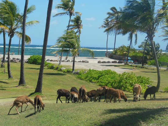 Nisbet Plantation Beach Club: Grazing goats
