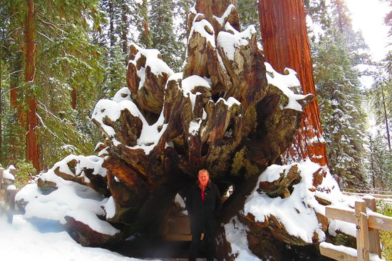 General Grant Tree Trail: Root System = HUGE