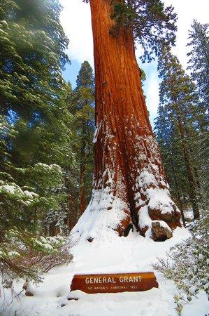 General Grant Tree Trail: Majestic Sequoia