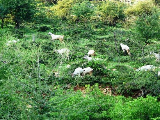 Dadhikar Fort : Goats