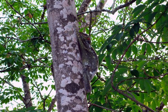Century Langkawi Beach Resort: Sugargliders on our trees