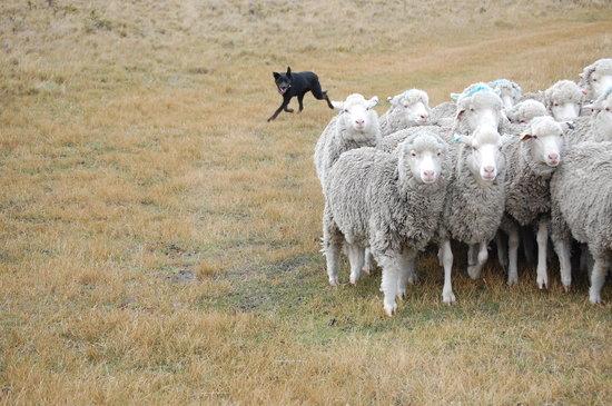 Estancia Monte Dinero: Perros Ovejeros