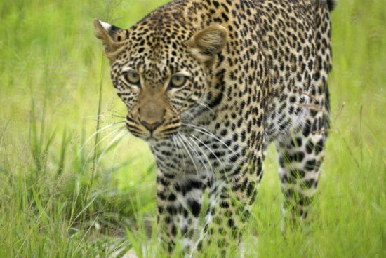 Kwihala Camp, Asilia Africa: follow the leopard for 3 hours