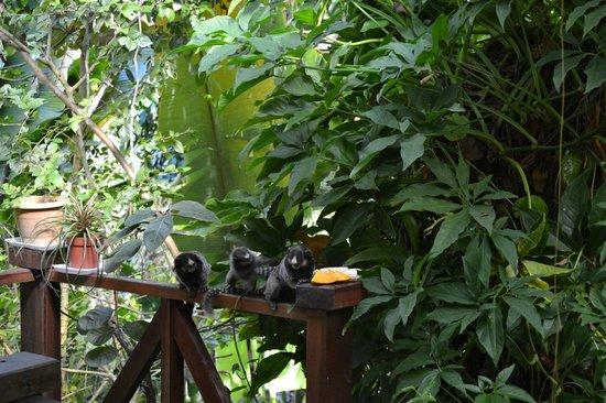 Casa Luzena Guest House: Visitas dos macaquinhos
