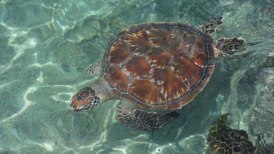 InterContinental Moorea Resort & Spa: turtles