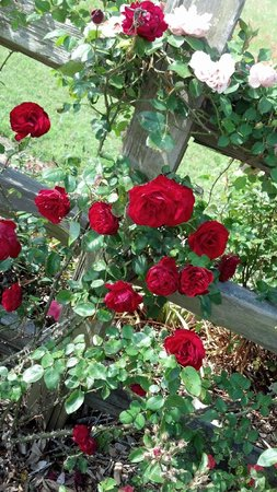 Antique Rose Emporium: Red roses