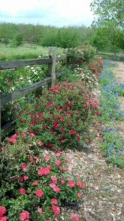 Antique Rose Emporium: Roses along the fence