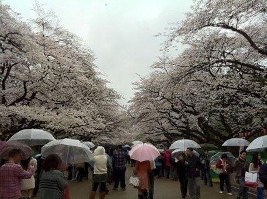 Ueno Park: Cherry blossom with rain.