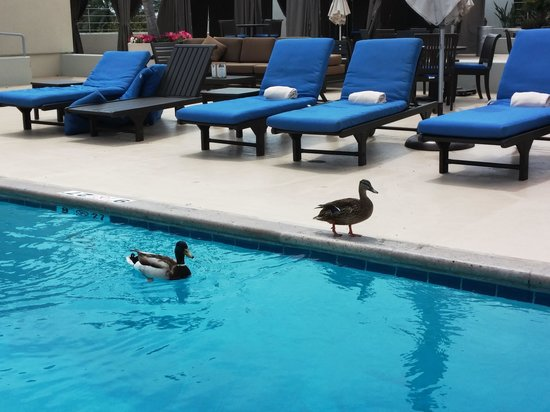 The Westin South Coast Plaza: Ducks in the pool