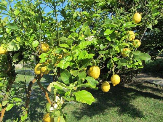 Hotel  Providence Terme & Spa: Alberi di limoni