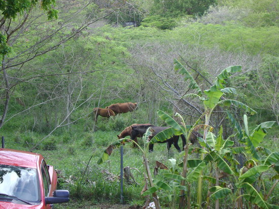 Enchanted Garden Inn: Our neighbors - The horses of Vieques